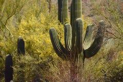 Saguaro and Palo Verde. Palo verde and saguaro cactus at Saguaro National Park in Arizona stock photography