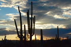 Saguaro Panorama Stock Photography