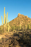 Saguaro park narodowy Fotografia Stock