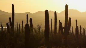 Saguaro park narodowy Fotografia Royalty Free