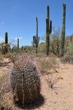 Saguaro park narodowy, Arizona, usa Zdjęcie Royalty Free