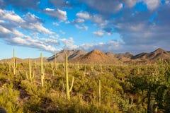 Saguaro parka narodowego Sonoran Amerykańska Południowo-zachodni pustynia obraz royalty free
