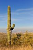 saguaro phoenix кактуса Стоковые Изображения RF