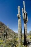 Saguaro on Pinnacle Peak park trail Stock Images