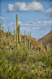 Saguaro and prickly pear cacti on western landscape Stock Images