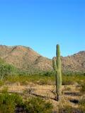 Saguaro quatre Photo libre de droits