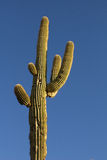 Saguaro and a rich blue sky Royalty Free Stock Images