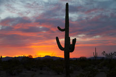 Saguaro setting sun Royalty Free Stock Photos