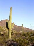 Saguaro. Sguaro cactus in Sonoran Desert, Arizona, USA stock image