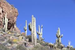 Saguaro. Sguaro cactus in Sonoran Desert, Arizona, USA stock photography