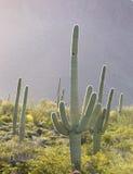 Saguaro. Sguaro cactus in Sonoran Desert, Arizona, USA stock photos