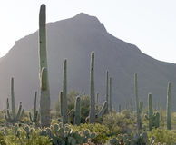 Saguaro. Sguaro cactus in Sonoran Desert, Arizona, USA royalty free stock photo