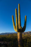 Saguaro solamente Imagenes de archivo