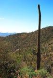 Saguaro solo en parque nacional del Saguaro Imagen de archivo libre de regalías