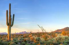 Saguaro Royalty Free Stock Photos