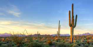Saguaro Royalty Free Stock Photo