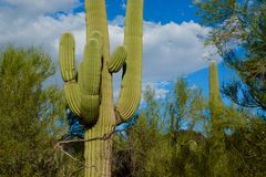 Saguaro Standing Tall Stock Photography