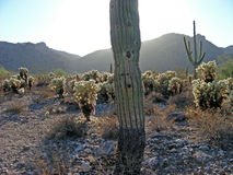 Saguaro with streaming sun royalty free stock image