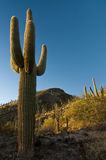 Saguaro at Sunset Stock Photos