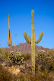 SAGUARO THREE Royalty Free Stock Images