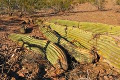 saguaro tombé par cactus photographie stock