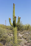 Saguaro in Tonto National Forest, AZ Stock Photos