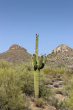 Saguaro in Tonto National Forest, AZ Royalty Free Stock Image