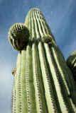 Saguaro torreggiante, Tucson, Arizona Fotografia Stock