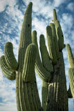 Saguaro torreggiante, Tucson, Arizona Immagine Stock