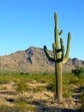 Saguaro três Imagens de Stock