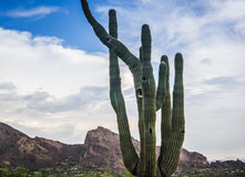 Saguaro tree with Camelback Mountain Royalty Free Stock Photography