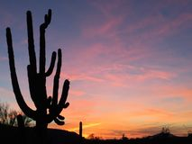Saguaro viejo enrrollado de la abuela Imagen de archivo