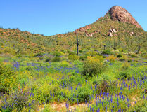 Saguaro and wildflowers Stock Image