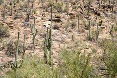 Saguaro y cactus de Cholla en Sabino Canyon Foto de archivo