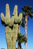 Saguaro y palmeras Imagenes de archivo