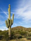 Saguaroboom van de woestijn met pluizige wolkenzonsondergang Stock Fotografie