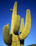 SaguaroCactus#4 Royalty Free Stock Photography
