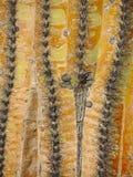 Saguarocactus Gedetailleerde Macro Royalty-vrije Stock Afbeeldingen