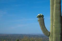 Saguarocactus met het Bloeien Bloei van Witte Bloemen zoals een Shrek-Haar als A 'Hoed ' royalty-vrije stock foto's