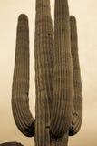 Saguarocactus tegen hemel Royalty-vrije Stock Afbeelding