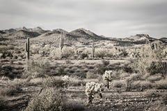 Saguarocactus in woestijn Stock Afbeelding