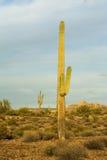 Saguarocactus in woestijn Stock Foto