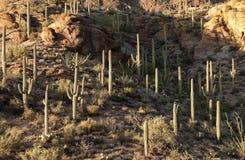 Saguarocactussen in Tucson Royalty-vrije Stock Afbeeldingen