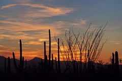 Saguarokakteen, Carnegiea gigantea, bei Sonnenuntergang im Saguaro-Nationalpark stockbilder