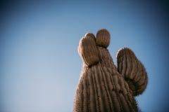 Saguarokakturs i arizona Royaltyfria Foton