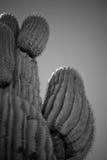 Saguarokakturs i Arizona B&W Arkivbild