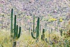 Saguarokakturs på sida av ökenberglandskapet royaltyfria foton