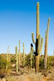 Saguarokaktus Lizenzfreie Stockfotos