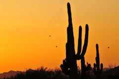 Saguarokaktus Stockfoto