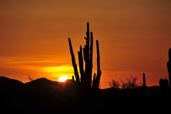Saguarokaktus Stockbilder